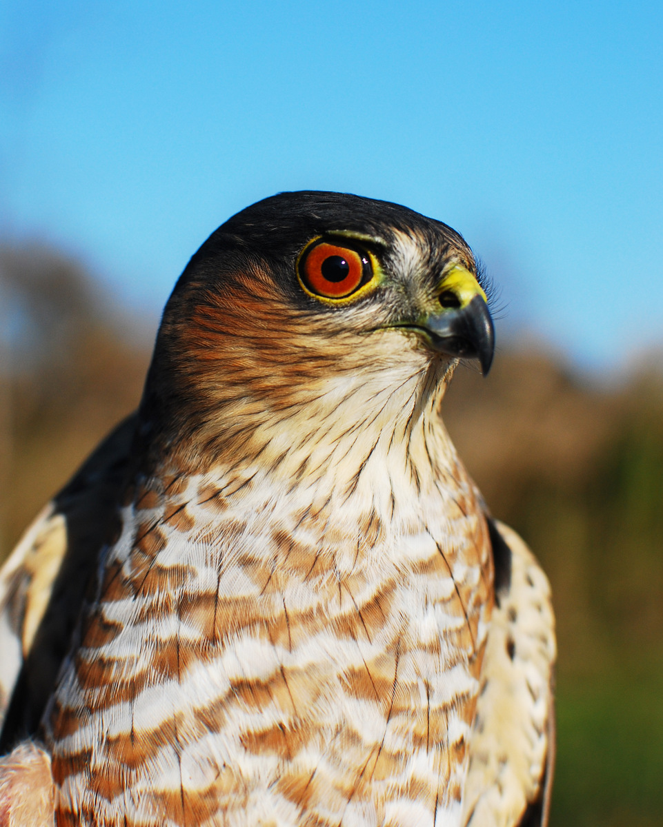 Adult sharp-shinned hawk