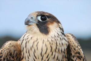 Hatching year peregrine falcon