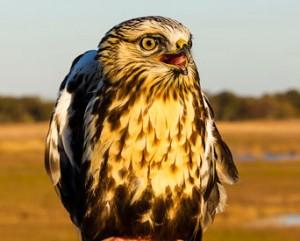Imm. Rough-legged Hawk by AJQuezon