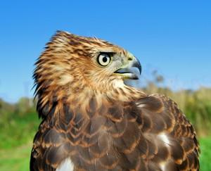 Hatching year Cooper's hawk