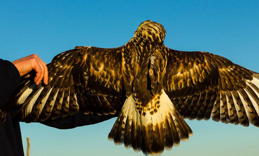 Immature Rough-legged Hawk by AJQuezon