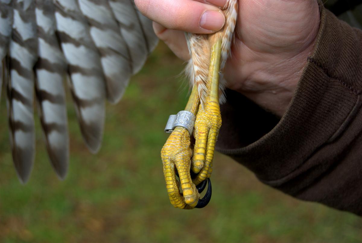 Banded sharp-shinned hawk